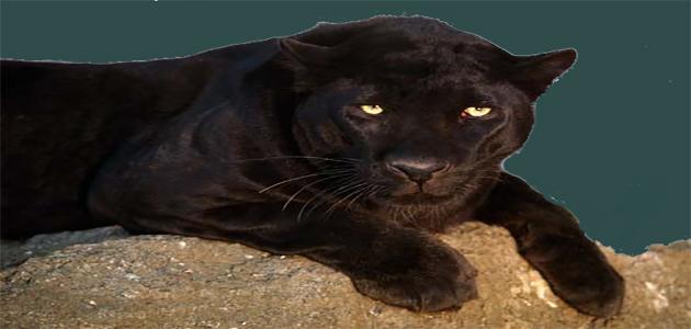 أنواع النمور حول العالم وأسمائها بالصور