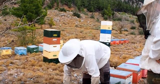 Τρύγος όψιμου πευκόμελου στο Σελεκάνο Κρήτης 2019: Θα ζηλέψει κάθε μελισσοκόμος...