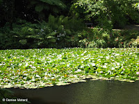 Pond with water lilies - Pukekura Park, New Plymouth, New Zealand