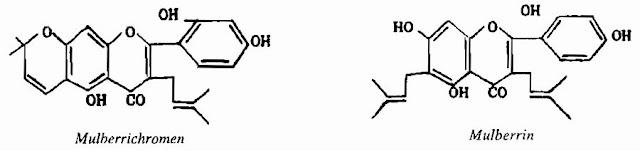 TPHH1 CÂY DÂU - Morus alba - Nguyên liệu làm thuốc Chữa Ho Hen