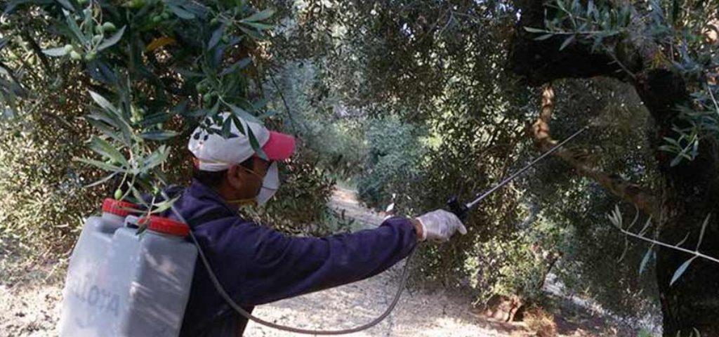 Διενέργεια δολωματικών ψεκασμών για την καταπολέμηση του δάκου της ελιάς σε περιοχές της Π.Ε. Λάρισας