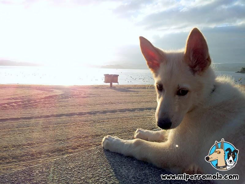 Cachorro de Can de Palleiro junto a la playa