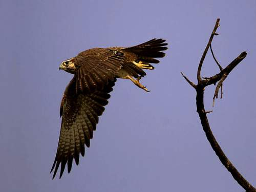 Indian birds - Image of Laggar falcon - Falco jugger