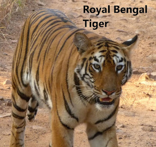 Royal Bengal Tigers has seen in another place