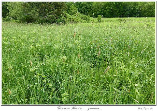 Wachusett Meadow: ... greeeeeeeen...