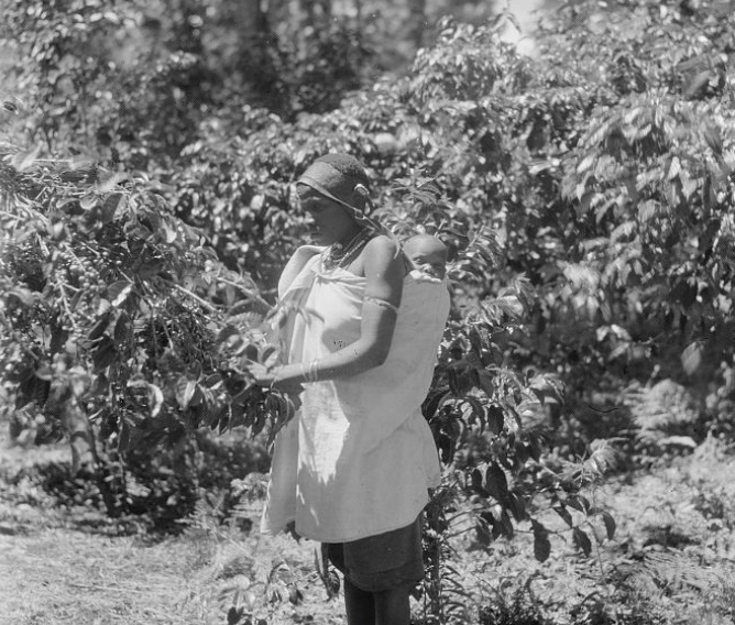 Coffee picking North of Nairobi Kenya in 1936