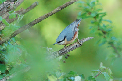 Pica-soques blau (Sitta europaea)