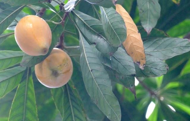 Cây Lê ki ma say trái ở chùa Pháp Hoa - Sài Gòn!