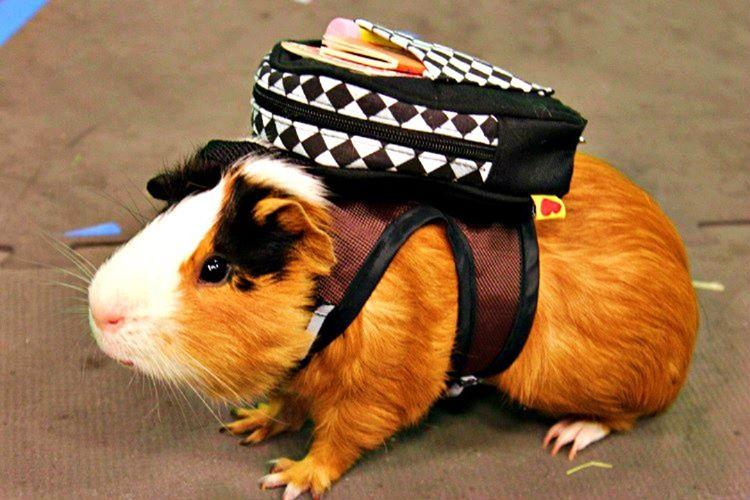 Gine domuzu Afrika'ya sonran gelmiştir, Güney Amerika'dan göç etmiş bir canlıdır.