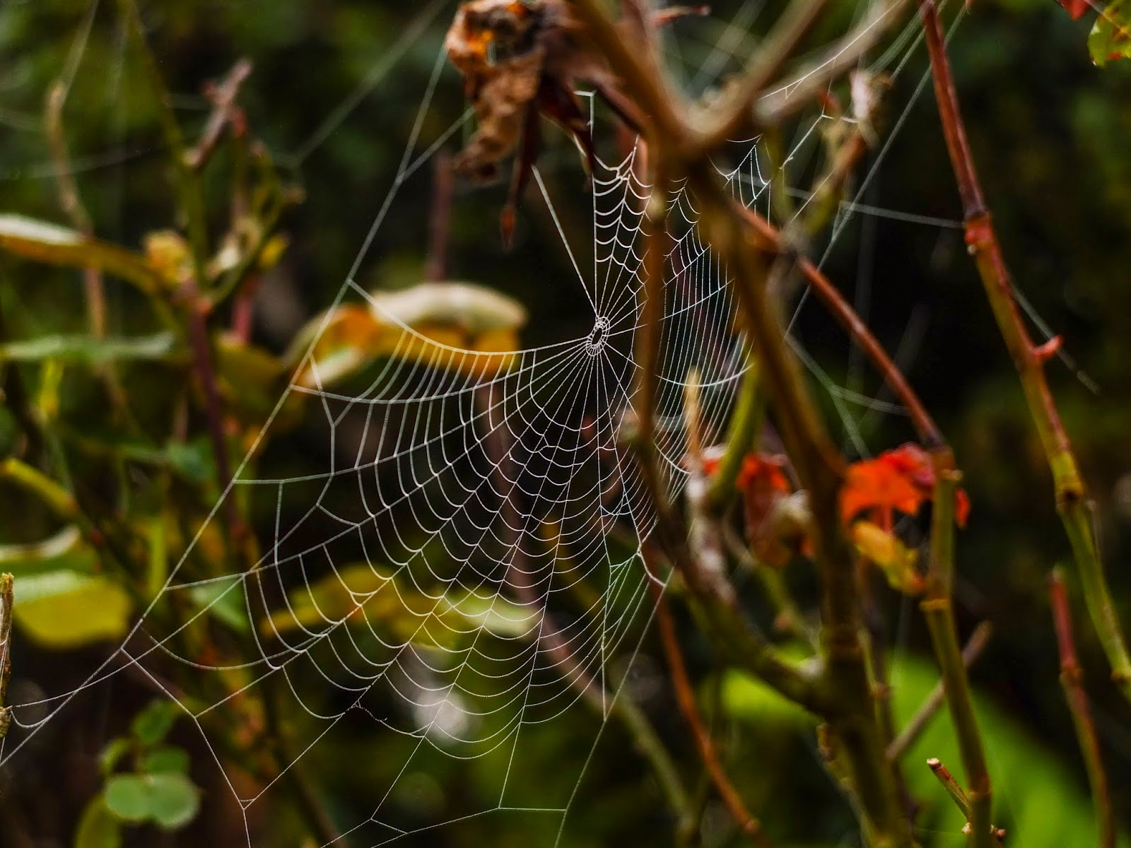 A close up of a spider web in rose branches.