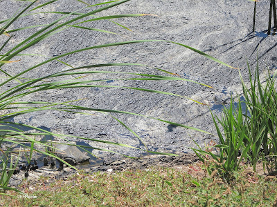 Tar in the pond, La Brea