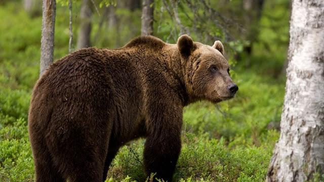 Οι Αρκούδες στην Ρουμανία δεν έπεσαν σε χειμερία νάρκη και κάνουν επιθέσεις σε πρόβατα (βίντεο)