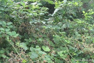 ripening blackberries on a bush, in Alcester, UK