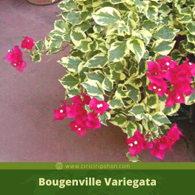 Bougenville Variegata