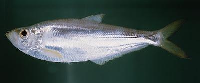 Jenis - Jenis Ikan Air Laut Ekonomis Penting [Bagian 6]