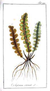 Asplenium cetarach botanical drawing (www.biolib.de).