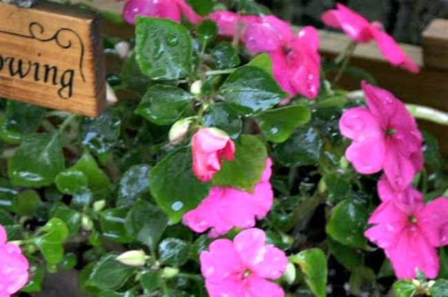 impatiens in the garden