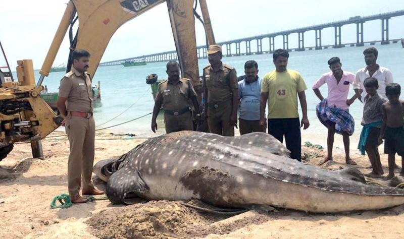 Tubarão-baleia deu à costa morto