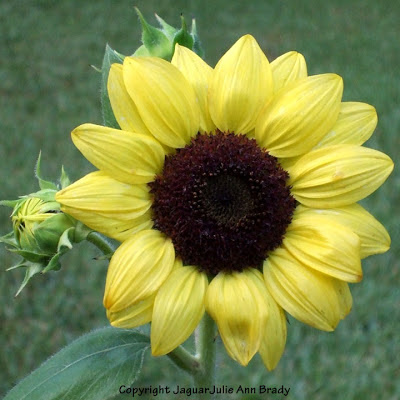 Another Pretty Petite Yellow Sunflower Blossom