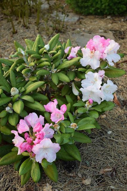 Rhododendron 'Ken Janeck'