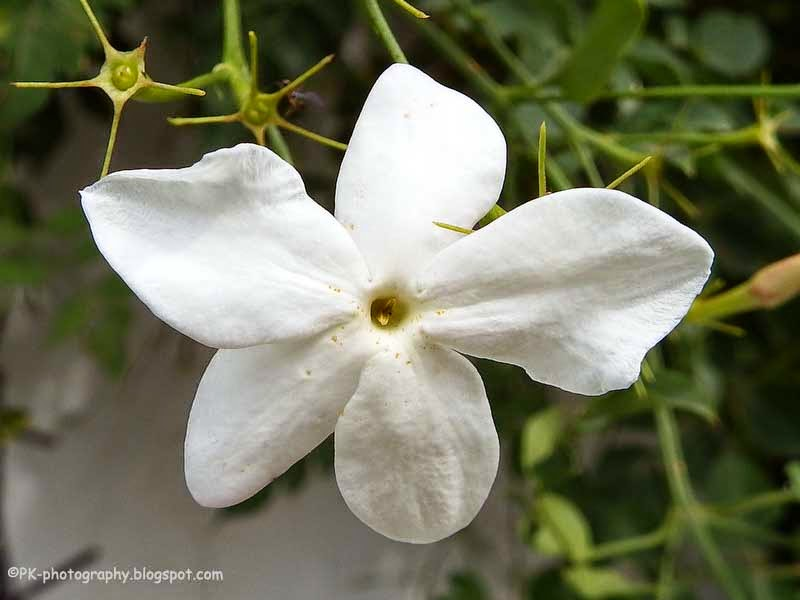 essay on national flower of pakistan The national flower of pakistan, jasmine: date published: aug 28 , 2011: for thousands of years, the jasmine plant has been cultivated not only for the beauty of its small, white, star-like.
