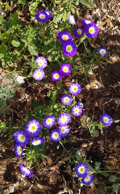 вьюнок трёхцветный раскрывает свои цветы ближе к вечеру и дарит свою красу в прохладе заканчивающегося дня и на заре дня начинающегося...