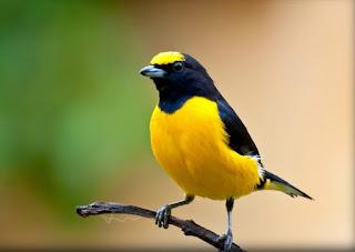 cara merawat burung,om kicau suara kenari juara,ciblek betina,pleci betina,murai betina,prenjak betina,cipoh betina om kicau,om kicau kenari isian ciblek,download suara kicau kenari,