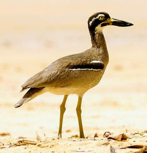 Indian birds - Picture of Beach thick-knee - Esacus magnirostris