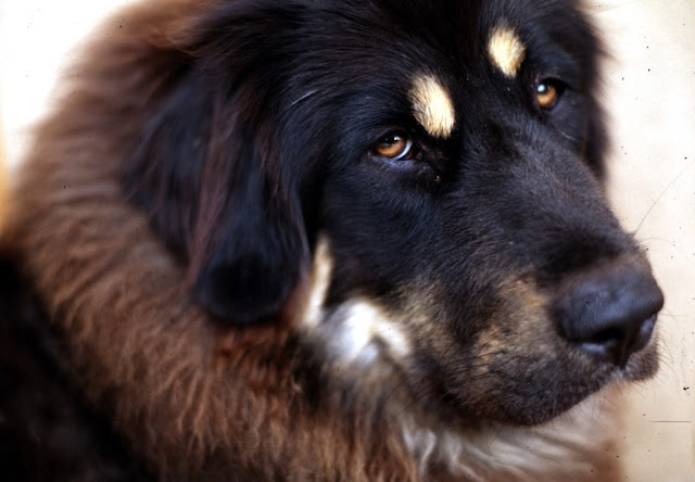 Tibetan Mastiff gained high altitude adaptation after domestication by wolf interbreeding
