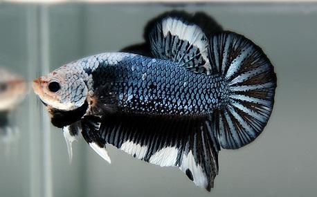 Ikan Cupang Mask - Mask Betta - Ikanhiasku