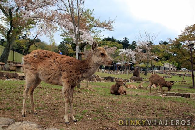 Ciervos sika descansando en Nara