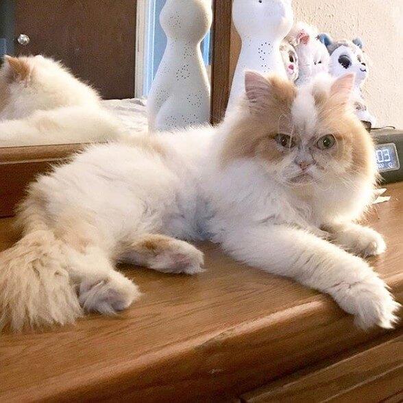 القط الغاضب الجديد الشبيه ل Grumpy Cat