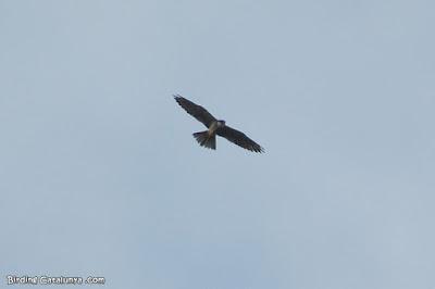 Falcó mostatxut (Falco subbuteo)