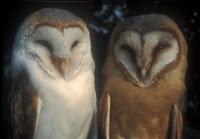Barn Owls, different subspecies Netherlands – photo by HeBi