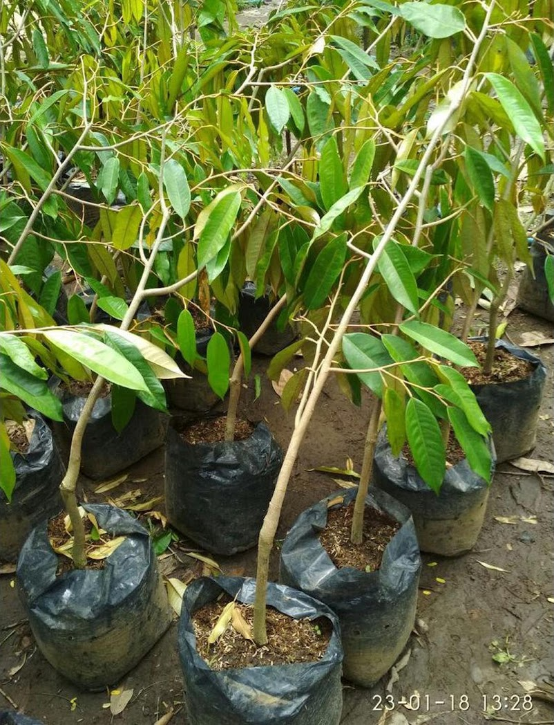 Bibit Durian Duri Hitam Sulawesi Tengah