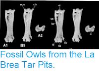 https://sciencythoughts.blogspot.com/2012/02/fossil-owls-from-la-brea-tar-pits.html