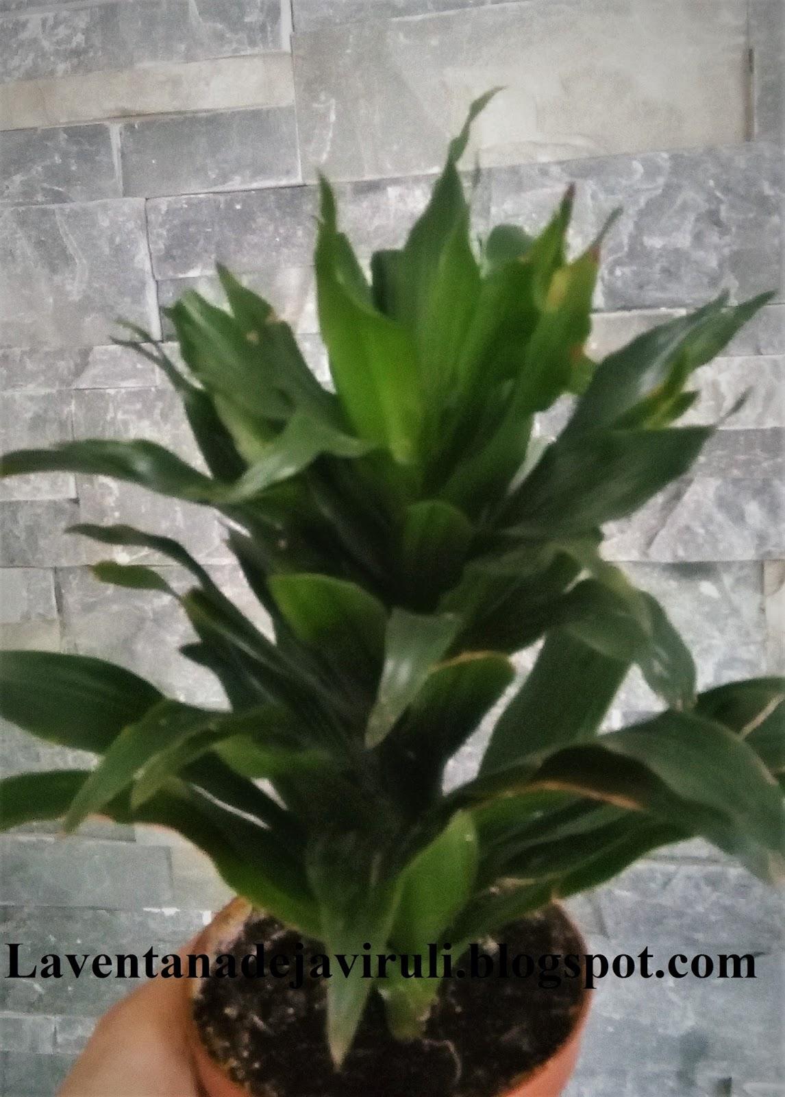 La ventana de javiruli plantas de interior 53 dracena - Plantas de interior nombres ...