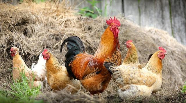 Image: Poultry at the Farm, by S.V.Klimkin on Pixabay