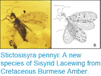 https://sciencythoughts.blogspot.com/2018/03/stictosisyra-pennyi-new-species-of.html