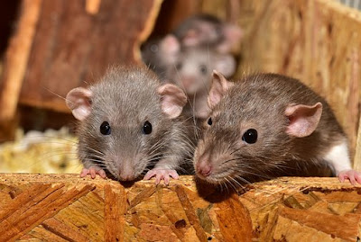 У зникненні наркотиків поліцейські звинуватили мишей
