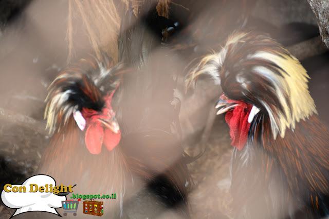 להקת תרנגולים rock band roosters