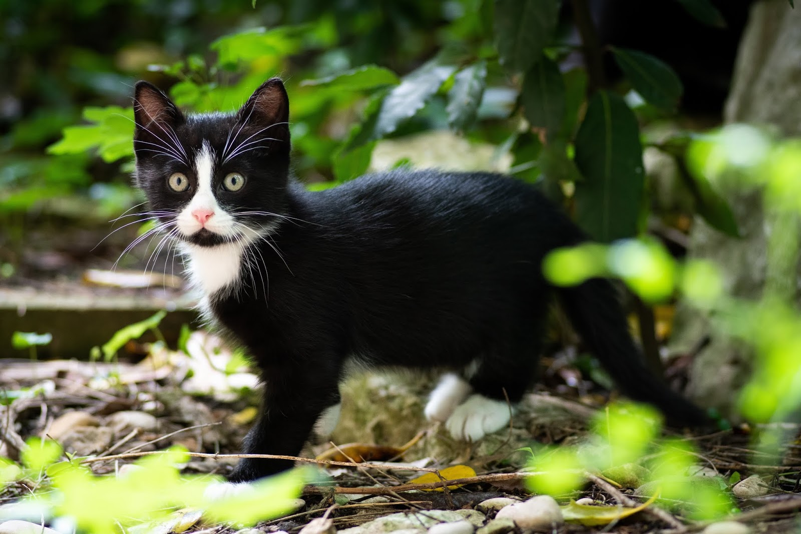 tuxedo kitten beside leafed plant,cat images