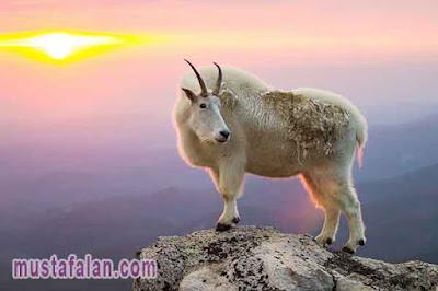 bacaan doa menyembelih hewan aqiqah