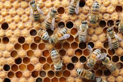 De nouvelles données soulèvent le risque de pesticides dans les ruches