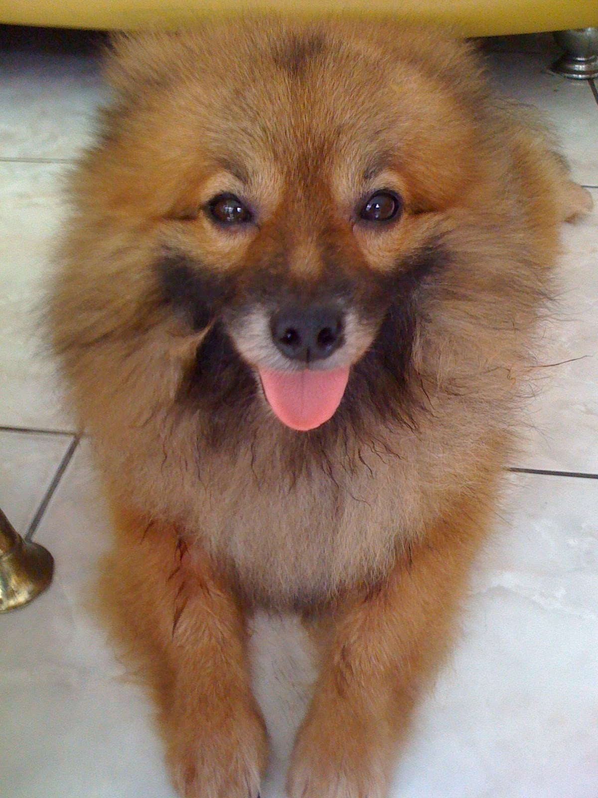 Kamus Anjing Dwarf KeesHond Pomeranian Small KeesHond Small