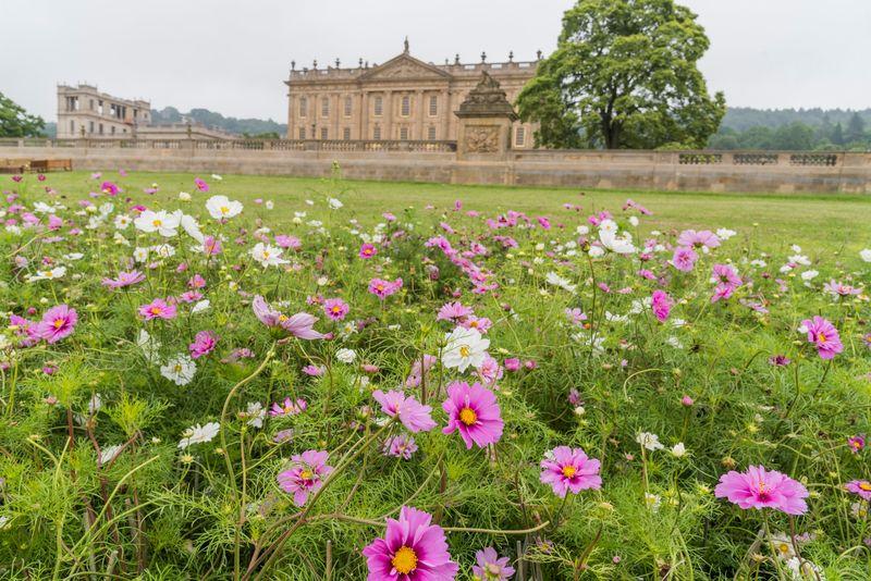 pradera de flores de cosmos en jardín histórico Chatsworth House