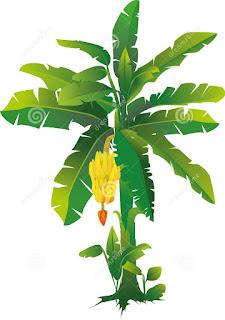 a charm plantain