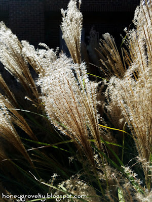 Ornamental grass seed heads in October