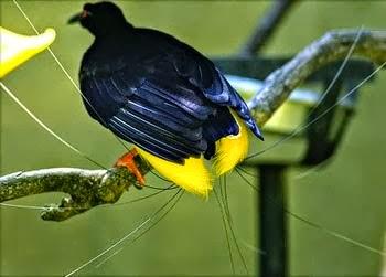 Burung Cendrawasih Mati Kawat
