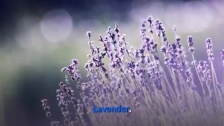 Lavender Lavender has a soothing effect that makes it a major ingredient in cosmetic products. Moreover, the oil can be used for relieving body aches.
